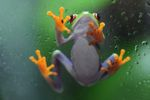 Red-eyed Treefrog (Agalychnis callidryas) [panama_1270]