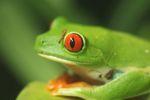Red-eyed Treefrog (Agalychnis callidryas) [panama_1275]