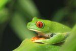 Red-eyed Treefrog (Agalychnis callidryas) [panama_1278]