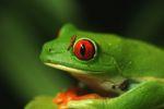 Red-eyed Treefrog (Agalychnis callidryas) [panama_1280]