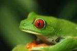 Red-eyed Treefrog (Agalychnis callidryas) [panama_1281]