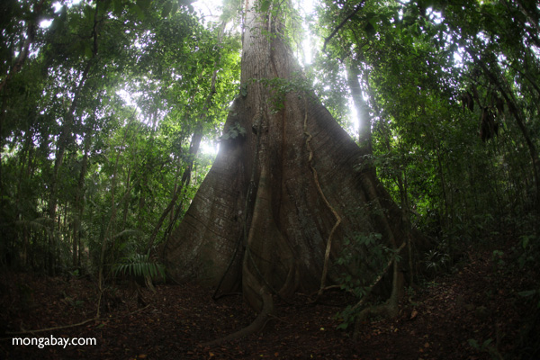 Giant ceiba tree in Panamanian rainforest. Photo by: Rhett A. Butler.