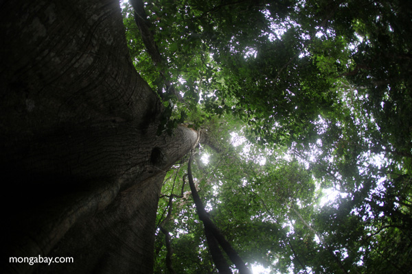 Giant ceiba ('Big Tree') in Panama's rainforest