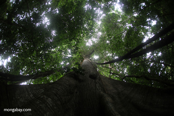 Giant kapok ('Big Tree') in Panama's rainforest. Photo by: Rhett A. Butler.