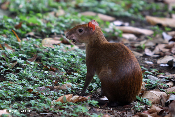 An agouti in Panama. Photo by: Rhett A. Butler.
