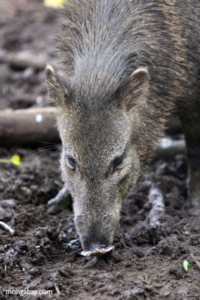 Peccaries comprise a family of New World pigs that ranges throughout most of South America and up into the southern U.S. They are not closely related to domestic pigs. Photo of a collared peccary (Pecari tajacu) by Rhett A. Butler.
