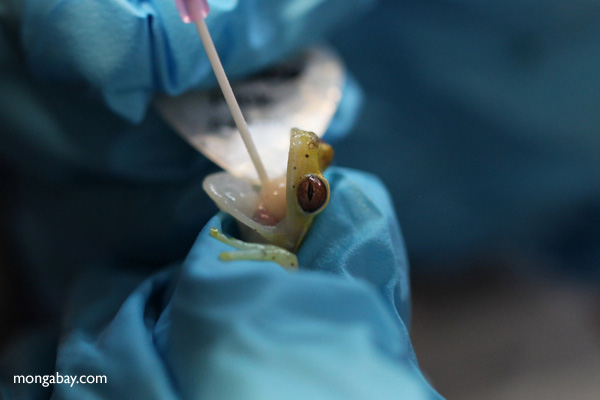 Scientist trying to save a Hyloscirtus colymba tree frog, a species imperiled by chytridiomycosis at Panama's Amphibian Rescue and Conservation Project. Photo by: Rhett A. Butler.