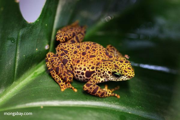 Female Toad Mountain Harlequin Toad (Atelopus certus) .