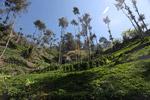 Bertingkat pertanian ladang di dataran tinggi New Guinea