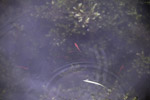 Red Rainbowfish (Glossolepis incisus) in its natural habitat: Lake Sentani [papua_0831]