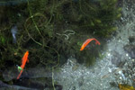 Red Rainbowfish (Glossolepis incisus) in its natural habitat: Lake Sentani [papua_0833]