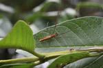 Orange spider [papua_0991]