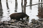 Pig eating lake weeds