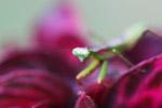 Praying mantis on a pink leaf [papua_6025]