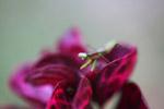 Praying mantis on a magenta leaf [papua_6027]