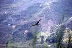 Raptor in New Guinea