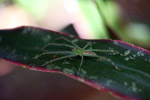Green spider with bright orange markings [west-papua_0089]