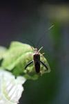 Multicolored shield bug [west-papua_0116]