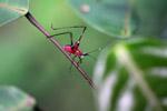 Red katydid with a green head