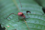 Pink, orange, yellow, violet katydid with spots and green eyes [west-papua_0172]
