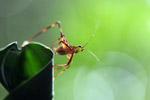 Multicolored katydid [west-papua_0234]