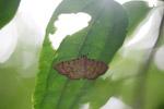 Orange and yellow moth [west-papua_0248]