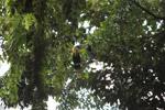 Male and female Blyth's Hornbill (Rhyticeros plicatus)