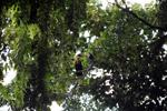 Blyth's Hornbill (Rhyticeros plicatus) [Male and female]
