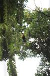 Blyth ini Hornbills (Rhyticeros plicatus), nama lokal: kokomo