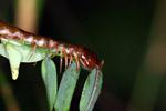 Centipede [west-papua_0307]