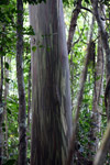 Rainforest eucalyptus di New Guinea
