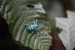 Schoenherr's blue weevil (Eupholus schoenherri - Curculionidae family), a spectacular blue and turquoise beetle from New Guinea [west-papua_0341]