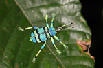 Schoenherr's blue weevil (Eupholus schoenherri), a spectacular blue and turquoise beetle from New Guinea [west-papua_0354]