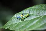 Biru, kuning dan oranye belalang (laki-laki) kawin dengan hijau dan pirus belalang (perempuan)