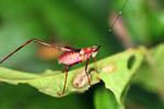Red Katydid dengan kepala hijau dan hitam antena