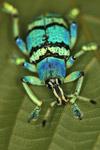 Schoenherr biru kumbang (Eupholus schoenherri - Curculionidae keluarga)