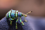 Eupholus schoenherri weevil, a blue-green-turquoise beetle from New Guina [west-papua_0455]