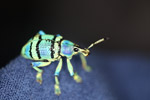 Eupholus schoenherri weevil, a blue-green-turquoise beetle from New Guina [west-papua_0460]