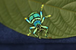 Eupholus schoenherri weevil, a blue-green-turquoise beetle from New Guina [west-papua_0469]