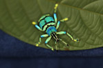 Eupholus schoenherri weevil, a blue-green-turquoise beetle from New Guina [west-papua_0470]