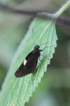 Black skipper butterfly