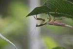 Giant praying mantis [west-papua_0699]