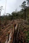 Fence built around swidden agriculture garden in New Guinea