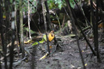 Magnificent Birds-of-paradise (Cicinnurus magnificus) [male and females in courtship dance at lek] [west-papua_0860]