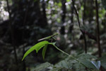 Praying mantis in the lowland rain forest of New Guinea