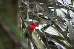 Black-capped Lory (Lorius lory) [west-papua_5097]