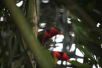 Tricolored Lory (Lorius lory) [west-papua_5104]