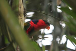 Tricolored Lory (Lorius lory) [west-papua_5108]