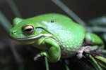 White's Tree Frog (Litoria caerulea)
