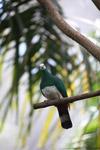 Dove [west-papua_5140]